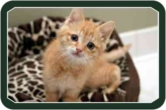 Domestic Shorthair Kitten for adoption in Sterling Heights, Michigan - Blitzen - ADOPTED!