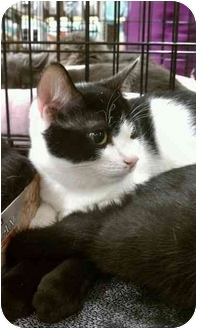 Domestic Shorthair Kitten for adoption in Manalapan, New Jersey - Link