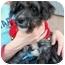 Photo 1 - Schnauzer (Miniature)/Poodle (Miniature) Mix Puppy for adoption in Vista, California - Ajax