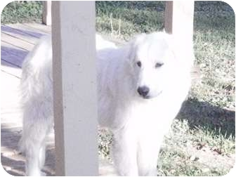 Great Pyrenees Mix Dog for adoption in San Angelo, Texas - Andora