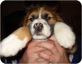 St. Bernard/Boxer Mix Puppy for adoption in Livonia, Michigan - Hughie - Adoption Pending