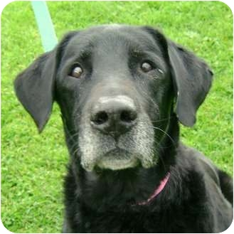 Labrador Retriever/Retriever (Unknown Type) Mix Dog for adoption in Berea, Ohio - Abbey
