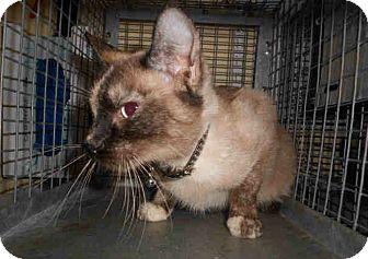 Siamese Kitten for adoption in Yuba City, California - Blair (8 mo.)
