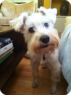Schnauzer (Miniature) Dog for adoption in Phoenix, Arizona - Pearl