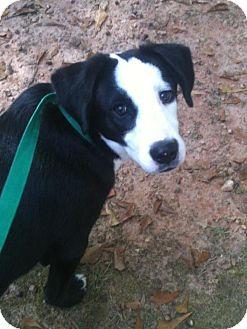 Border Collie/Great Pyrenees Mix Dog for adoption in Carrollton, Georgia - Jason