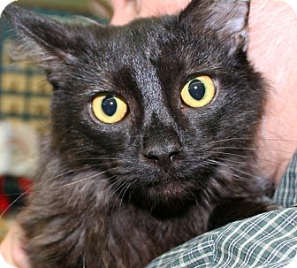 Domestic Longhair Cat for adoption in Asheville, North Carolina - DeAngelo