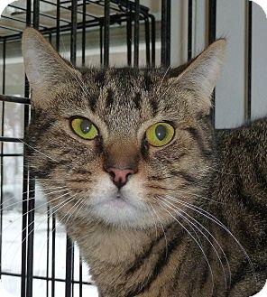 Domestic Shorthair Cat for adoption in Carmel, New York - William