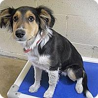 Adopt A Pet :: Spur - Wickenburg, AZ