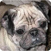 Adopt A Pet :: Cozmo - Mays Landing, NJ
