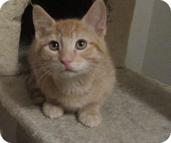 Domestic Shorthair Kitten for adoption in Des Moines, Iowa - Polly