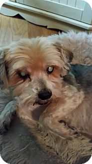Yorkie, Yorkshire Terrier Mix Dog for adoption in El Dorado Hills, California - Cuddles