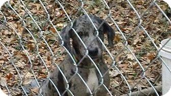 Catahoula Leopard Dog Puppy for adoption in Seahurst, Washington - Adelaide