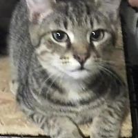 Domestic Shorthair Cat for adoption in Rustburg, Virginia - Milo - Fostered