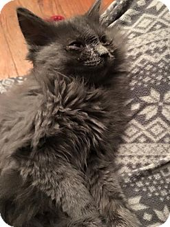 Domestic Mediumhair Cat for adoption in Baltimore, Maryland - Sagwa