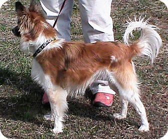 Sheltie, Shetland Sheepdog/Chihuahua Mix Dog for adoption in Maynardville, Tennessee - Pierre
