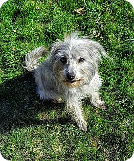 Terrier (Unknown Type, Small) Mix Dog for adoption in Hurricane, Utah - PETUNIA
