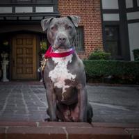 Adopt A Pet :: Bart - Santa Paula, CA