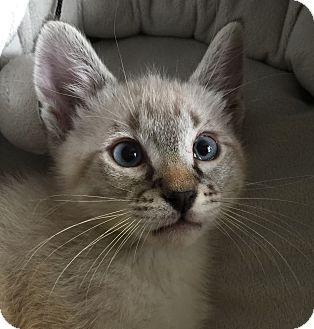 Siamese Kitten for adoption in Meridian, Idaho - Kim