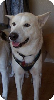 Husky/Shepherd (Unknown Type) Mix Dog for adoption in Humble, Texas - Bruno
