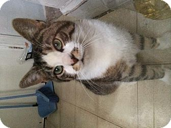 Domestic Shorthair Cat for adoption in Marlton, New Jersey - Mr. Brown