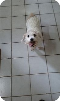Poodle (Miniature)/Terrier (Unknown Type, Small) Mix Dog for adoption in Russellville, Kentucky - Crissy