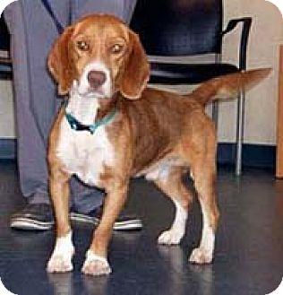 Beagle Dog for adoption in Chantilly, Virginia - Redmond