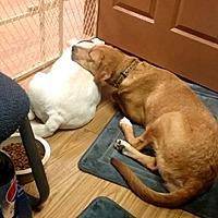 Adopt A Pet :: Ginger (INCOMING) - Blakeslee, PA