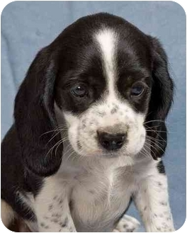 Beagle Mix Puppy for adoption in Anna, Illinois - BETHANY