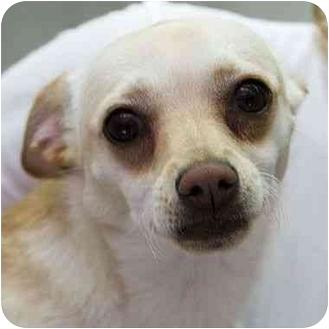 Chihuahua Dog for adoption in Berkeley, California - Jairo