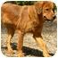 Photo 2 - Golden Retriever Mix Dog for adoption in PORTLAND, Maine - Tawney