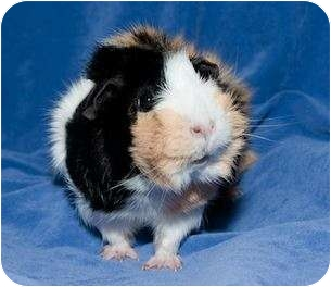 Guinea Pig for adoption in Fullerton, California - Tori