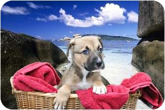 Shepherd (Unknown Type)/Boxer Mix Puppy for adoption in Livonia, Michigan - Sampson - Adoption Pending