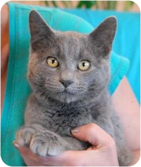 Russian Blue Kitten for adoption in Las Vegas, Nevada - Smiley