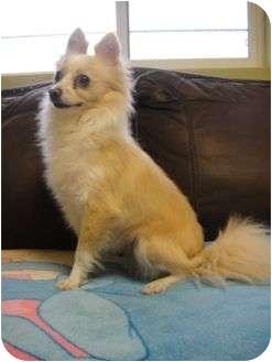 Chihuahua/Pomeranian Mix Dog for adoption in Barron, Wisconsin - Jasmine