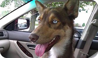 Siberian Husky Dog for adoption in Zanesville, Ohio - Rain