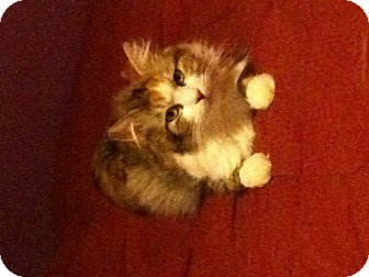 Domestic Longhair Cat for adoption in Southaven, Mississippi - Callie