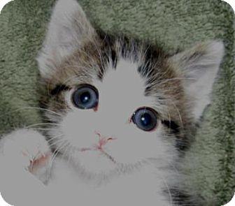 Domestic Shorthair Kitten for adoption in Colville, Washington - Little tucker