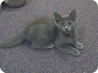 Domestic Mediumhair Kitten for adoption in Memphis, Tennessee - Violet