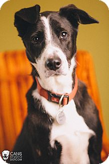 Border Collie/Greyhound Mix Dog for adoption in Portland, Oregon - Franklin
