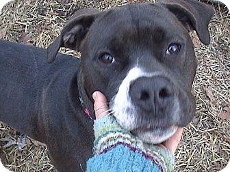 American Bulldog/Boxer Mix Dog for adoption in richmond, Virginia - Jake
