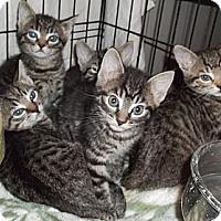 Adopt A Pet :: Tiger Kittens - Acme, PA