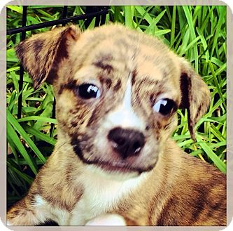 Pug/Chihuahua Mix Puppy for adoption in Grand Bay, Alabama - Tex