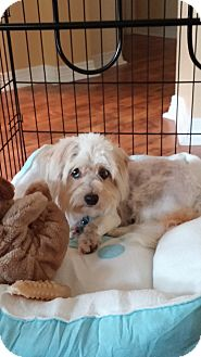 Maltese/Havanese Mix Dog for adoption in Plano, Texas - WIGGLY WRIGLEY
