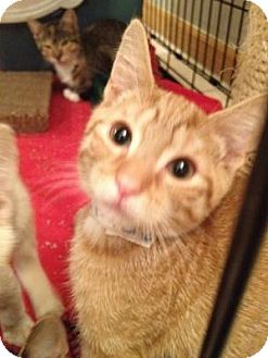 Domestic Shorthair Kitten for adoption in East Hanover, New Jersey - Ollie