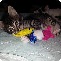 Adopt A Pet :: Betsy Ross - Dallas, TX