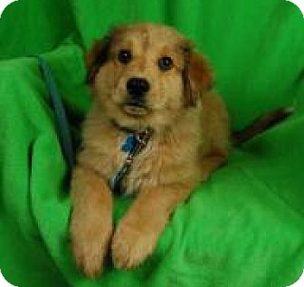 Collie/Retriever (Unknown Type) Mix Puppy for adoption in Minneapolis, Minnesota - Henley