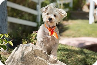 Silky Terrier/Terrier (Unknown Type, Medium) Mix Dog for adoption in Sherman Oaks, California - Scout