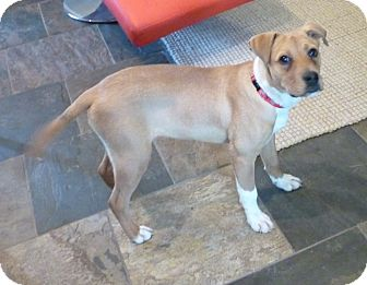 Pit Bull Terrier/Hound (Unknown Type) Mix Puppy for adoption in Cranford, New Jersey - TANNER
