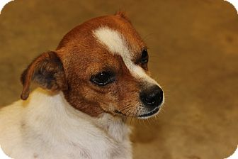Shih Tzu Mix Dog for adoption in Kittery, Maine - Pancho
