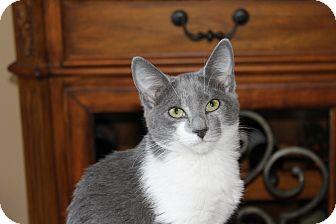 Domestic Shorthair Cat for adoption in Marietta, Georgia - Della